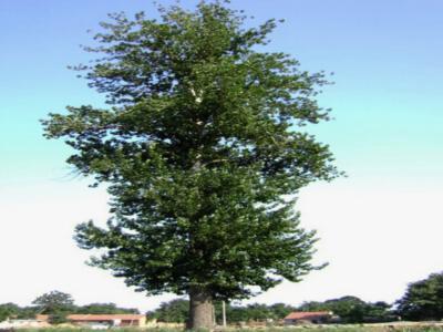 杨树木名称图片大全